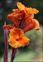 Canna... (angelakanner) Tags: canon70d 50mmlens flowers garden canna orange closeup bokeh longisland