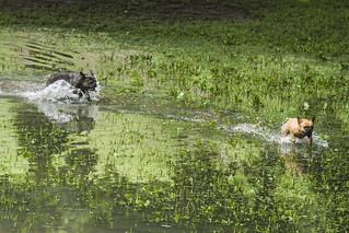 Pug/bulldog at Trinity-Bellwoods Park #1