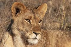 Lion - Zimanga - South-Africa (wietsej) Tags: lion zimanga southafrica portrait rx10iv rx10m4 sony animal nature rx10 iv