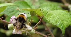 """""""KISS ME ... (Poppy ♥ Cocqué ♫) Tags: bee insect bufftailedbee blossom blackberryblossom brambleblossom leaves garden ap poppy poppycocqué"""