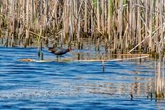2017 Common Moorhen (DrLensCap) Tags: common moorhen strooks ditch ledge road horicon marsh national wildlife refuge waupun wisconsin wi bird rail robert kramer