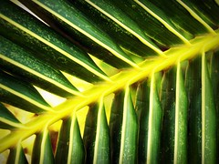 Green coconut leaf background (www.icon0.com) Tags: coconut leaf palm closeup isolated tree cycas arch palmetto foliage natural vein tropical green white curly curl cycad life symbol curve droop summer feathery vegetation corner macro small object flora stem bush frame forest group close growth plant lush part background frond branch nature border pattern botany bend