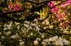 Azaleas Under a Dogwood Tree (T i s d a l e) Tags: tisdale azaleasunderadogwoodtree azalea dogwood spring april 2018 easternnc