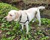Gracie standing creekside (walneylad) Tags: gracie dog canine pet puppy cute lab labrador labradorretriever april spring morning westlynn