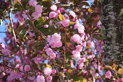 Plum tree blossoms (nikname) Tags: flowers garden spring springflowers gardenflowers floweringtrees trees floweringfruittrees fruittrees plumflowers plumblossoms plumtree pink pinkflowers