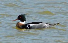 Red-breasted Merganser, male (ctberney) Tags: redbreastedmerganser mergusserrator diving duck fisheating water bird pond migration nature