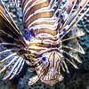 Lionfish at Adventure Aquarium (TimFau) Tags: lionfish zebrafish fish fishphotography adventureaquarium aquarium nj canon canont5 photography