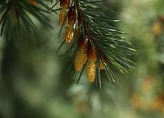 Pine in bloom (annazelei) Tags: springtime flower flowers spring bloom woods wood tree outdoor macro canon flickr green grün yellow nature natural april dof depthoffield pine flora blooming sun sunshine garden lights