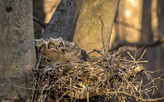 Just in the nick of time.... (Kevin Povenz Thanks for all the views and comments) Tags: 2018 april kevinpovenz westmichigan michigan ottawa ottawacounty ottawacountyparks grandrivernorthravines owls greathornedowlets bird birdsofprey greathornedowl nature wildlife outdoors outside canon7dmarkii sigma150500 nest tree sunlit sun light