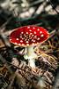 (estebanolivaresmuñiz) Tags: mushroom mushrooms hongos fauna flower hongo bosque forest bosques native red rojo colors colores tree arbol trees light lights drug drugs green verde macro