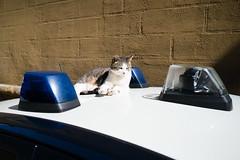 Police Cat (martinstelbrink) Tags: toskana toscana tuscany italien italia italy sony alpha7rii montepulciano policecar polizeiauto cat katze blaulicht zeissloxia25mmf24 loxia2425 ze zeiss carlzeiss loxia 25mm f24 street strasse