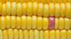 Closeup of yellow corn textured background (rawpixel.com) Tags: agriculture background closeup corn cornbackground corncloseup cornleaf corntexture crop delicious dessert diet energy food fresh fruit grain healthy independence individuality ingredient juicy macro maize name natural nature nutrition nutritious organic pattern patternbackdrop pink raw refreshment ripe standout summer summertime sweet sweetcorn taste texture textured tropical tropics vitamin wallpaper yellow yellowcorn yummy
