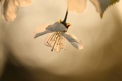 (SimonaPolp) Tags: flower fiore bianco white april aprile spring primavera