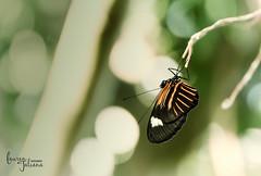 (Lauren Taliana) Tags: nikkor smoothbokeh bokeh upclose macro closeup nature insect butterfly flickr elements butterflies nikon naturallight