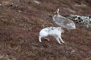 April Mountain Hares