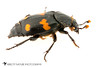 Roundneck Sexton Beetle (Nicrophorus orbicollis) 20180319_4381.jpg (Abbott Nature Photography) Tags: photography organismseukaryotes whiteseamlessbackground insectainsects arthropodaarthropods polyphaga technique animals silphidaecarrionorburyingbeetle invertebratainvertebrates hexapoda coleopterabeetle gordo alabama unitedstates us neoptera endopterygota pterygota
