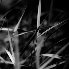 Marshland Grasses 057 (noahbw) Tags: d5000 dof nikon prairiewolfsloughforestpreserve abstract blackwhite blackandwhite blur bw depthoffield grass landscape leaves light marshland monochrome natural noahbw quiet shadow square still stillness summer wetlands marshlandgrasses