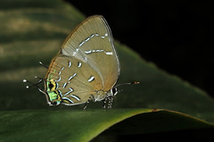 Janthecla malvina (Camerar 4 million views!) Tags: butterfly jantheclaleeaorsista lycaenidae peru butterflies insect jantheclamalvina