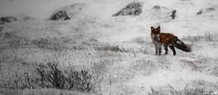 Red fox (Torjan Haaland) Tags: redfox fox rev snow storm snø hardangervidda norway norge winter vinter rød animal wildlife