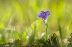 Violeta. (mianpascual) Tags: orestor meyer optik violetas primavera spring
