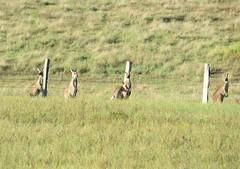 Eastern Grey Kangaroos (tom_2014) Tags: animal kangaroo easterngreykangaroo greykangaroo macropus giganteus macropusgiganteus species nature ecology biodiversity wild wildlife marsupial mammal eastern grey easterngrey australia australian australianwildlife nsw newsouthwales huntervalley eastgresford