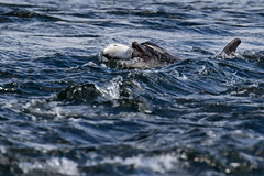 Catch (Ginger Snaps Photography) Tags: dolphin bottlenose fish salmon fishing catch wild wildlife nature