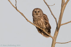 Barred Owl (Matt Shellenberg) Tags: barred owl bird tree barredowl missouri big muddy national wildlife refuge matt shellenberg
