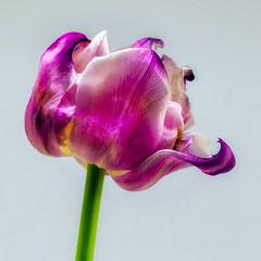 Neon Glow (Stephen Reed) Tags: tulip flower spring nikon d7000 lightroomcc colorefexpro4 naturesfinest