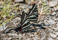 two puddlers (long.fanger) Tags: centreville virginia puddling utilityeasementarea zebraswallowtail