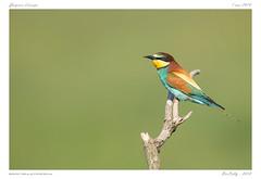 Guêpier d'Europe | European bee-eater (BerColly) Tags: france auvergne puydedome oiseau bird guêpierdeurope meropsapiaster europeanbeeeater portrait bokeh bercolly google flickr