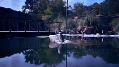Fotowalk 2018 (Kanazuchi) Tags: fotowalk zoo krefeld zookrefeld nikon d750 humboldtpinguin spheniscushumboldti sigmaart2435mmf2 sigma sigmaart