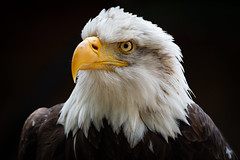 Bald Eagle (Paul Mansfield) Tags: baldeagle hawkconservancy birdofprey predator american raptor eagle portrait bald