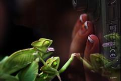 Chamäleons und Finger (wb.fotografie) Tags: chamäleons terrarium finger grün reptilien zoo