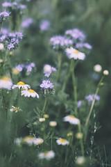 DSC04472 (mrschroedinger) Tags: bokeh bokehbliss bokehlicious detail macro flower nature colours samyang 85mm14 sony sonyphotography sonyalpha6000
