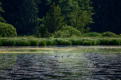 Family (Rico the noob) Tags: 2018 bokeh d850 landscape nature water birds outdoor lake animal tc14eiii tree 300mmf4pf published bird animals dof 300mm trees germany