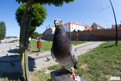 Pigeon @ Kamien Pomorski 2018 (Jan Rillich) Tags: fisheye sigma15mm sigmafisheyedg15mmf2 sigma15mmf28exdgdiagonalfisheye wideangle weitwinkel funny jan rillich janrillich picture photo photography foto fotografie eos digital wildlife animal nature beautiful beauty sunny sun fauna flora free animalphotography ostsee balticsea polen poland pommern westpommern kamienpomorski taube pigeon 2018 canon canon5d canon5dmarkiii polska rzeczpospolitapolska rekowo7
