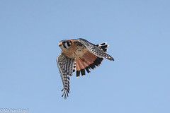 American Kestrel (mobull_98) Tags: americankestrel falcon bif