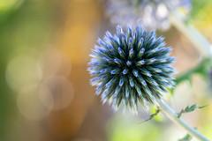 Boom! (hehaden) Tags: flower thistle bokeh garden bordehill haywardsheath sussex macro sel90m28g
