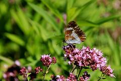 Kleiner Eisvogel IMG_1224 (pappleany) Tags: schmetterling falter tagfalter butterfly farfalla papillon mariposa sommer