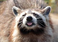 Raccoon Blijdorp JN6A6489 (j.a.kok) Tags: wasbeer raccoon animal amerika america predator blijdorp mammal zoogdier dier