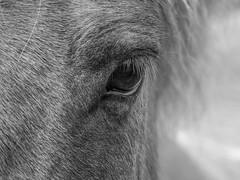 The Eye (katrin glaesmann) Tags: iceland unterwegsmiticelandtours photographyholidaywithicelandtours horses icelandichorses islandpferd horse animal icelandichorse íslenskihesturinn monochrome blackandwhite