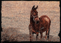 Sparky (garywitte845) Tags: mule animal farm rural iowa texture frame hss
