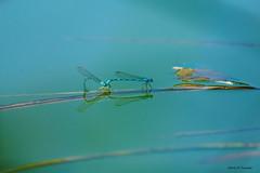 Bleu sur l'eau (jpto_55) Tags: demoiselle eau reflet hautegaronne france xe1 fuji fujifilm fujixf55200mmf3548rlmois