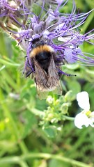20180707_193719-01 (eikeblogg) Tags: bee insects animals wildflowers petals closeup details mobileartistry summertime naturephotography natureza naturelovers eifel local rural