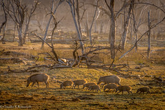 Ranthambore National Park. (ClaudiaRomanelli) Tags: animal wildlife animals wild drinking environment horizontal india landscape outdoors photography rajasthan ranthambore national park sambar water reserve