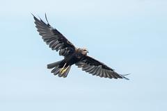 Marsh Harrier (Simon Stobart) Tags: marsh harrier circus aeruginosus flying northeast england naturethroughthelens