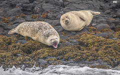Hey You Clear Off !! (davidrhall1234) Tags: commonsealphocavitulina seal kerrera scotland animal coastal coast mammal nature nikon outdoors wildlife world shoreline shore sea