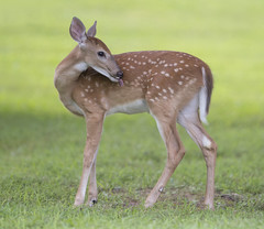 Fawn (Mawrter) Tags: fawn young lick spots deer nature wild wildlife grass canon nj newjersey animal mammal blind hide specanimal