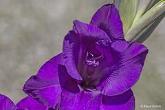 Gladiole - 16071801 (Klaus Kehrls) Tags: gladiole blume makro flora lila