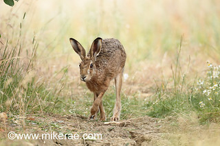 Brown hare foot forward past daisies on dry ground. July Suffolk.  Lepus europaeus